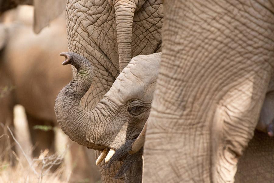 Makutsi elephant