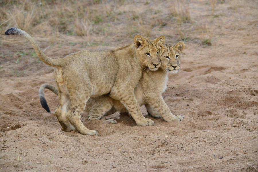 Makutsi lions