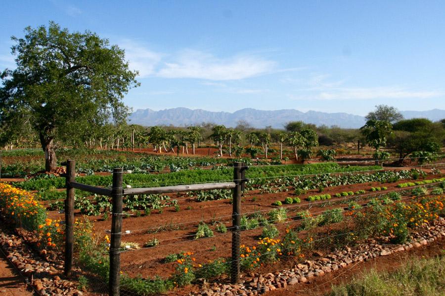 Makutsi organice vegetable garden