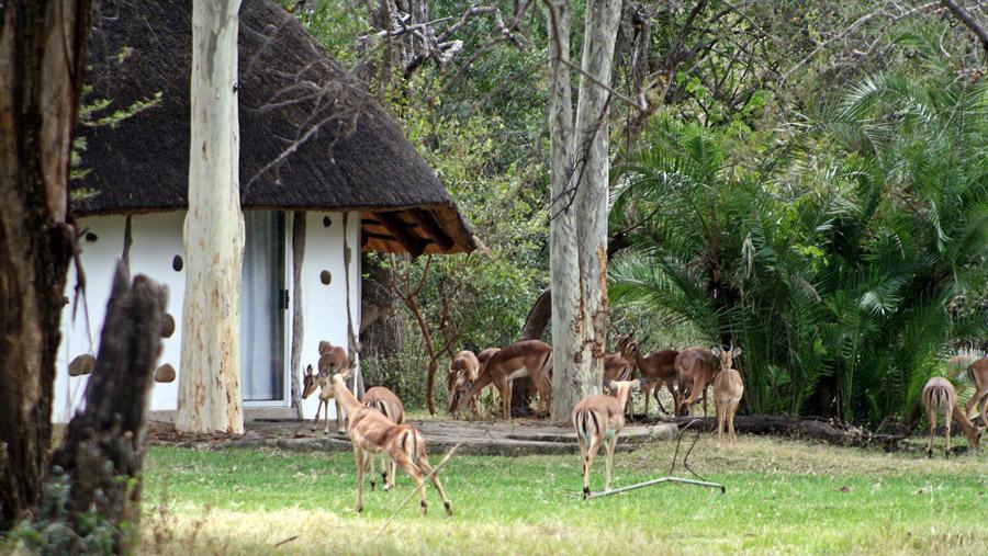 Impala's visiting camp