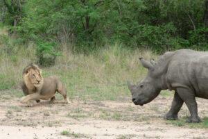 lion_rhino